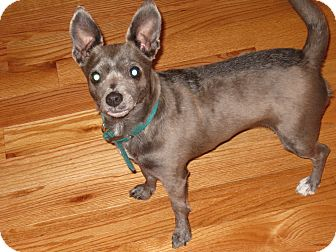 Chihuahua Mix Dog for adoption in Worcester, Massachusetts - Amanda