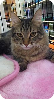 Maine Coon Cat for adoption in Modesto, California - Moses