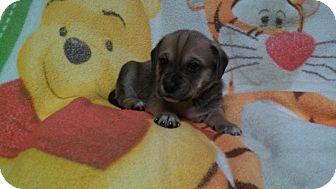Hound (Unknown Type)/German Shepherd Dog Mix Puppy for adoption in ST LOUIS, Missouri - Max