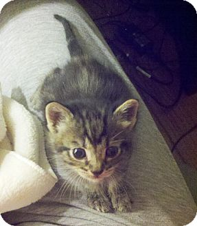 Domestic Shorthair Kitten for adoption in El Dorado Hills, California - KITTENS LEOPARD & TWINKLE TOES