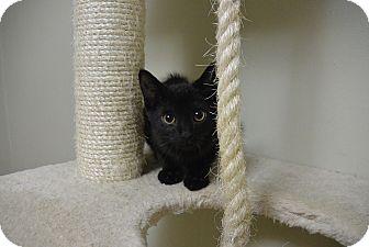 Domestic Shorthair Kitten for adoption in Cincinnati, Ohio - Muppet