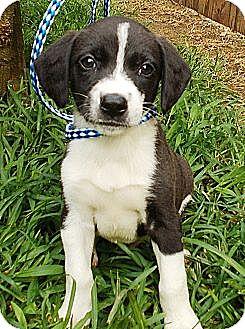 Border Collie/Labrador Retriever Mix Puppy for adoption in Allentown, New Jersey - Ross