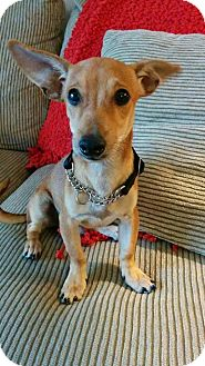 Chihuahua/Dachshund Mix Puppy for adoption in Vancouver, British Columbia - Hewy