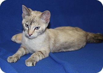 Siamese Cat for adoption in Orland Park, Illinois - Sophie