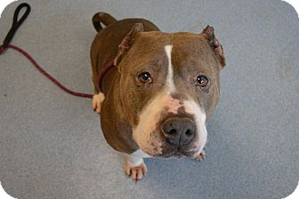 American Staffordshire Terrier Mix Dog for adoption in Bay Shore, New York - Anna