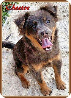 Chow Chow Mix Dog for adoption in Ahoskie, North Carolina - Cheetoe
