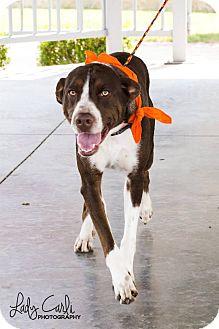 Hound (Unknown Type)/Hound (Unknown Type) Mix Dog for adoption in Sapulpa, Oklahoma - Shiloh