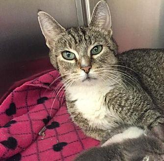 Domestic Shorthair Cat for adoption in Whitestone, New York - Luna