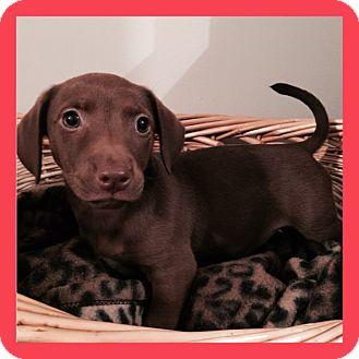 Dachshund Mix Puppy for adoption in ST LOUIS, Missouri - Koral