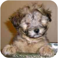 Terrier (Unknown Type, Medium)/Sheltie, Shetland Sheepdog Mix Puppy for adoption in Carrollton, Texas - Fozzy