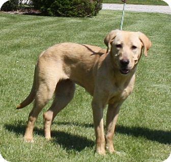 Labrador Retriever Mix Dog for adoption in Lewisville, Indiana - Queenie