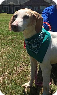 Treeing Walker Coonhound Mix Dog for adoption in Apex, North Carolina - Molly