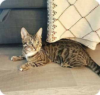 Domestic Shorthair Cat for adoption in Toronto, Ontario - Bomber