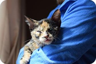 Domestic Shorthair Kitten for adoption in Wichita, Kansas - Penny
