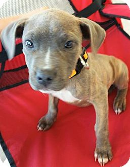 Pit Bull Terrier Mix Puppy for adoption in Wichita Falls, Texas - Zeus