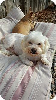 Maltese/Shih Tzu Mix Dog for adoption in San Diego, California - Bianca