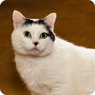Domestic Shorthair Cat for adoption in Chesapeake, Virginia - Lucky