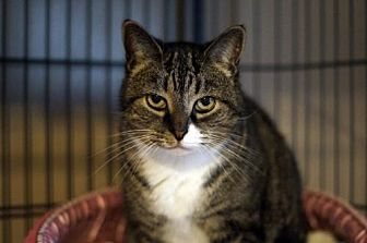 Domestic Shorthair Cat for adoption in Bealeton, Virginia - Penney