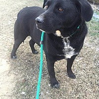 Labrador Retriever Mix Dog for adoption in Demopolis, Alabama - Hyder