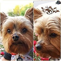 Adopt A Pet :: Bogey - Lancaster, TX