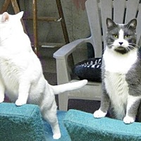 Domestic Shorthair Cat for adoption in London, Ontario - BONDED BROTHERS KEON AND TRIGGER