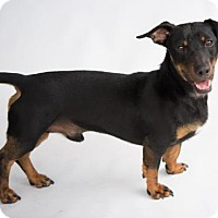 Dachshund Mix Dog for adoption in Alpharetta, Georgia - Henri Matisse