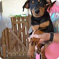 Adopt A Pet :: Felicity - South Dennis, MA