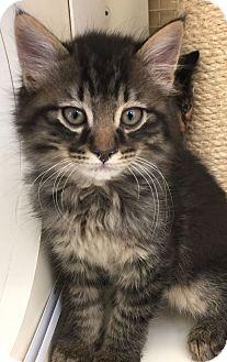 Domestic Longhair Kitten for adoption in Meridian, Idaho - Mr. Carrots