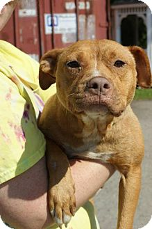 Staffordshire Bull Terrier/American Staffordshire Terrier Mix Dog for adoption in Kinston, North Carolina - Heather