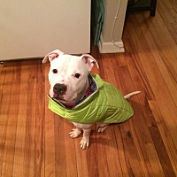 Pit Bull Terrier Mix Dog for adoption in North Haledon, New Jersey - Edison