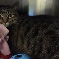 Domestic Shorthair/Domestic Shorthair Mix Cat for adoption in Merriam, Kansas - Flower