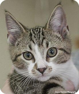 Domestic Shorthair Kitten for adoption in Marietta, Georgia - Podrick