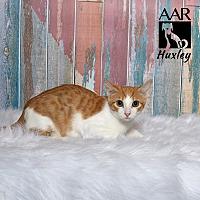 Adopt A Pet :: Huxley - Tomball, TX
