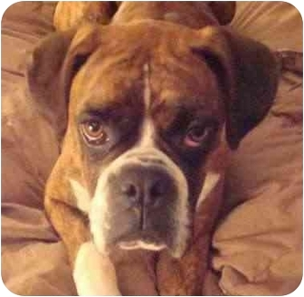Boxer Dog for adoption in W. Columbia, South Carolina - Lily