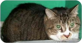 Domestic Shorthair Cat for adoption in Somerset, Pennsylvania - Mittens