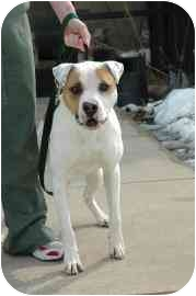 American Pit Bull Terrier Mix Dog for adoption in Walker, Michigan - Aiden