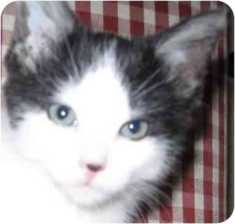 Domestic Shorthair Kitten for adoption in Muskogee, Oklahoma - Margie