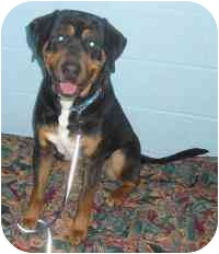 Rottweiler/Hound (Unknown Type) Mix Dog for adoption in Honesdale, Pennsylvania - Boo