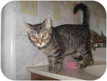 Domestic Shorthair Kitten for adoption in Catasauqua, Pennsylvania - Lacey