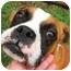 Photo 1 - Boxer Dog for adoption in Thomasville, Georgia - Tebow