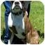Photo 2 - Boxer Dog for adoption in North Judson, Indiana - Dozer