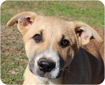 Shar Pei/German Shepherd Dog Mix Puppy for adoption in Allentown, Pennsylvania - Sleigh
