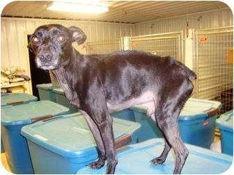 Miniature Pinscher Mix Dog for adoption in Irvington, Kentucky - Bennie