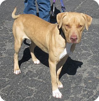 Labrador Retriever/American Pit Bull Terrier Mix Dog for adoption in San Diego, California - Merri URGENT