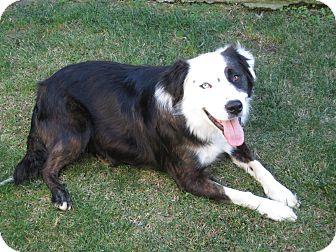 Australian Shepherd Mix Dog for adoption in San Pedro, California - HUMPERDINK