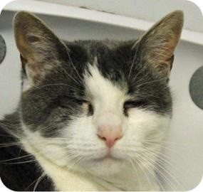 Domestic Shorthair Cat for adoption in Ithaca, New York - Heaven