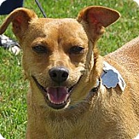 Manchester Terrier/Dachshund Mix Dog for adoption in Santa Monica, California - Jojo