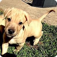 Adopt A Pet :: Yogi - Silsbee, TX