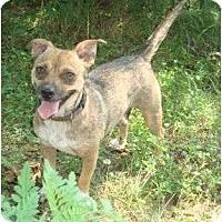 Adopt A Pet :: Bella Star - Plainfield, CT