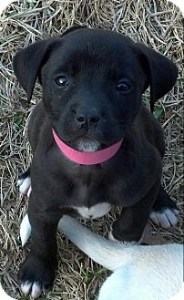 Labrador Retriever Mix Puppy for adoption in Flower Mound, Texas - Abby